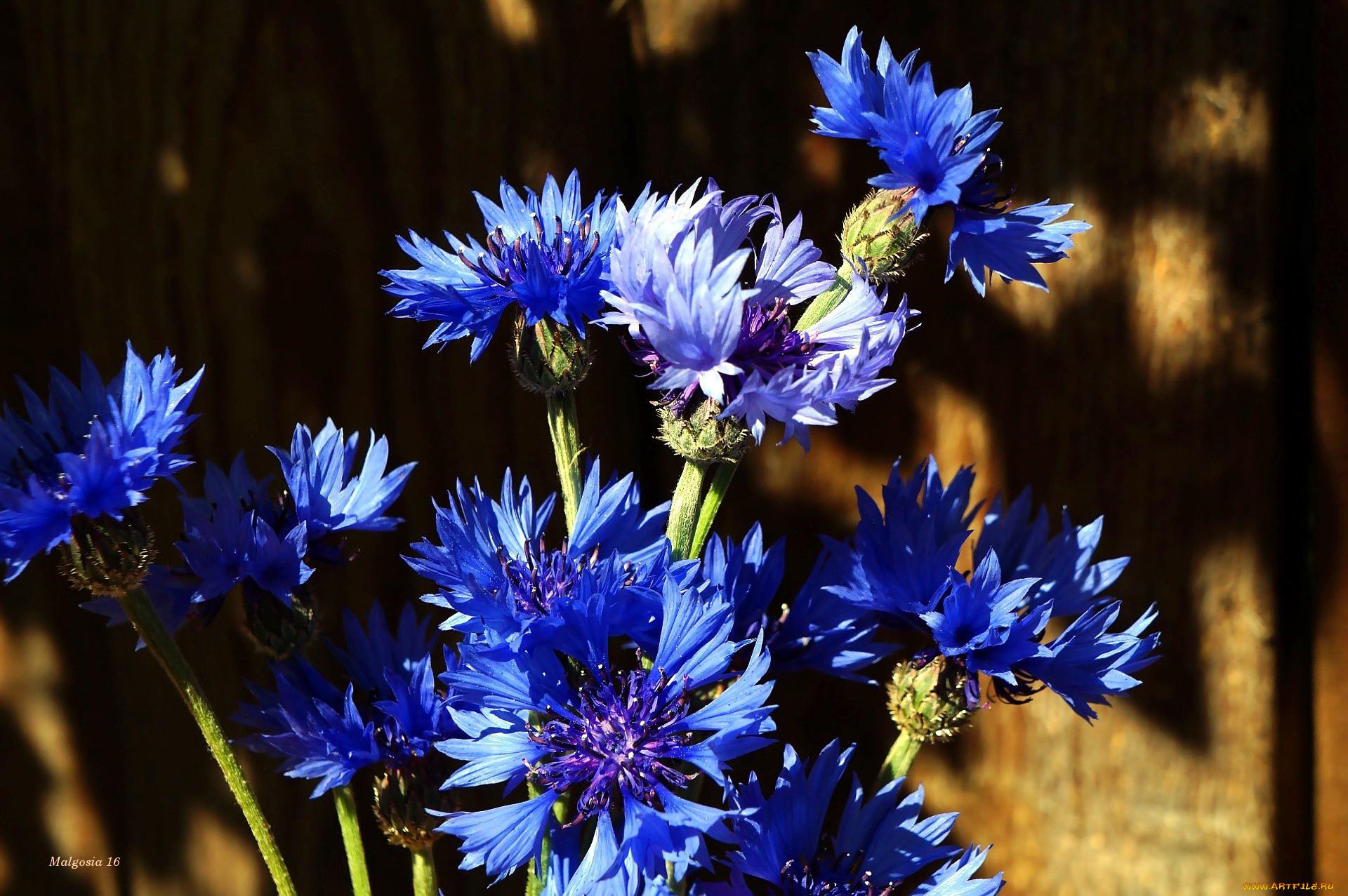 взаимопонимания васильки цветы картинки фото около воды для бань